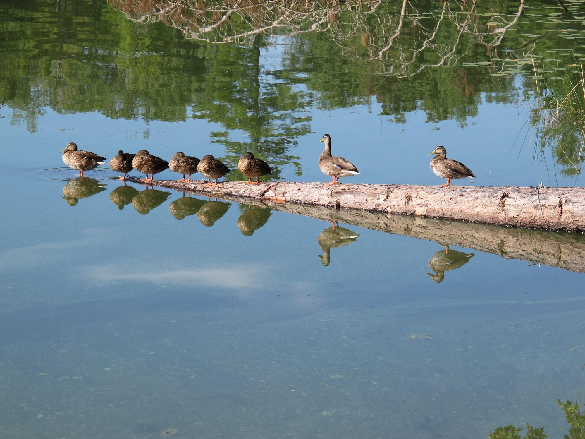 ducks on little st germain lake oneida county wi